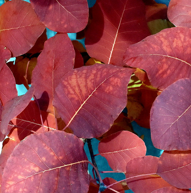 THE LAST BIT OF COLOR IN OUR YARD,  AUTUMN LEAVES ON ALTA AVENEUE.   ABBOTSFORD,  BC.