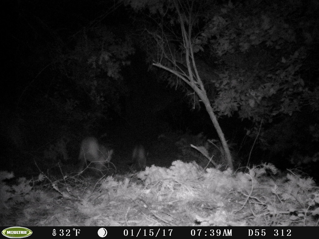 2017-01-15; two Mountain Lions
