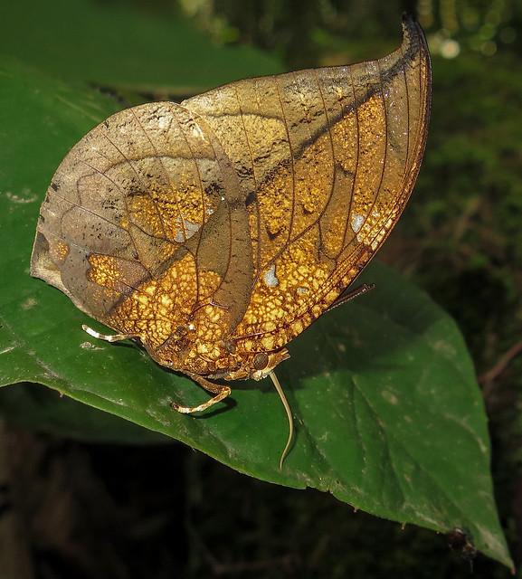 Coenophlebia archidona