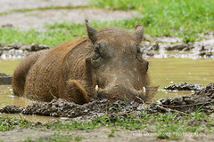 Warthog - Murchison Falls National Park, Uganda