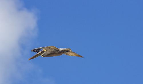 Pelican, Valentin Imperial Riviera Maya, Mexico