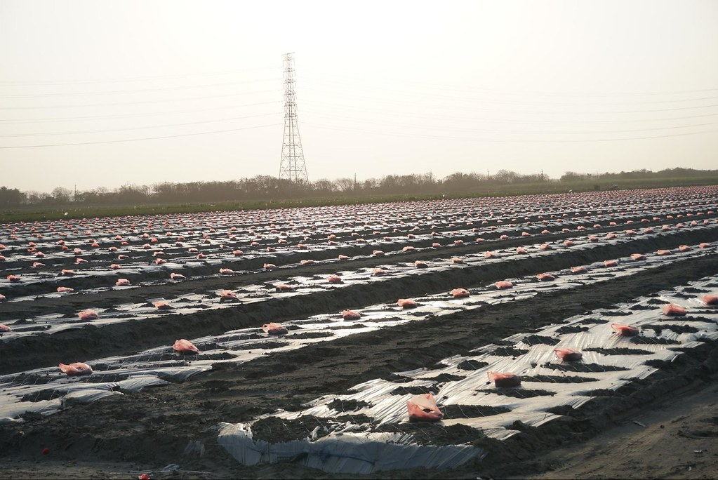 二林精機預定地的萬興農場目前仍有農作,大片美濃瓜正要入土種植。(攝影:王章逸)