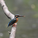 Kingfisher -202006040247.jpg