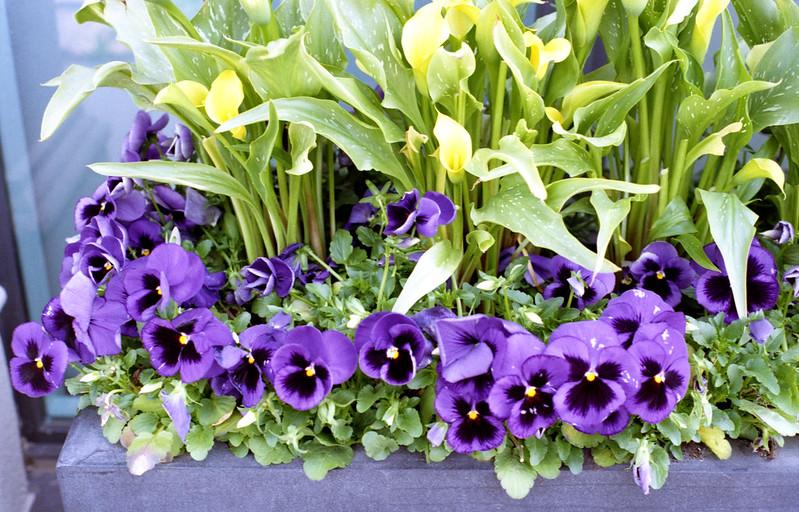 Purple Petunias_