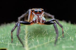 Jumping spider (Parabathippus sp.) - DSC_8301