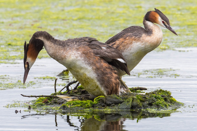 Great Crested Grebes........