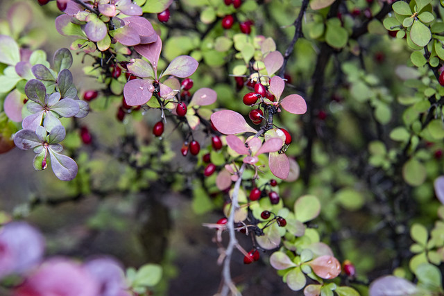 Berries of the previous year. Purple Japanese Barberry. Berberis thunbergii 'Purpurea'