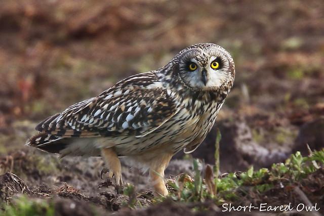 SHORT-EARED OWL // ASIO FLAMMEUS (35-40cm)