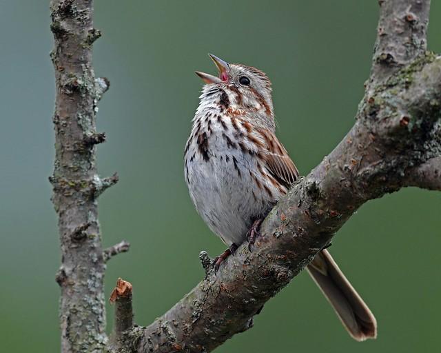 850_0894.jpg=060220Song Sparrow