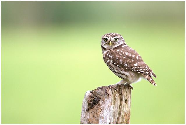 Little owl - Steenuil (Athene noctua) ...