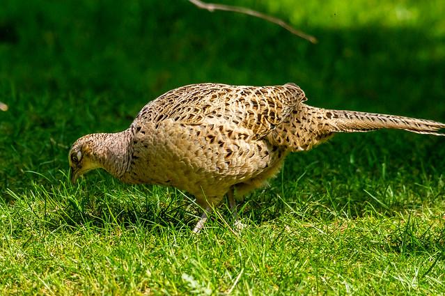 Pheasant Female