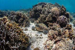 Green turtle in coral garden