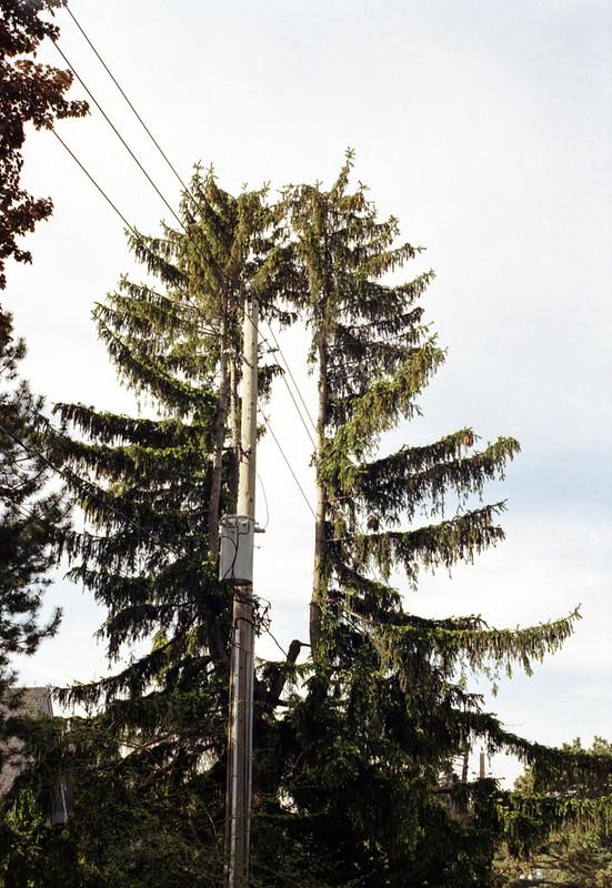 Adaptable Pine Tree