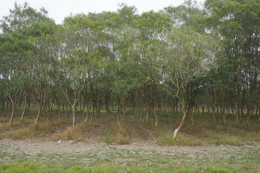 環團說,平地造林可涵養水源、淨化空氣,且在地長期復育獨角仙近日大爆發。攝影:李育琴