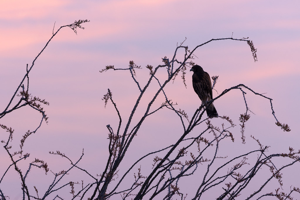 A near-silhouette of a juvenile Harris's hawk perched in a large ocotillo on the Latigo Trail in McDowell Sonoran Preserve in Scottsdale, Arizona in May 2020