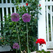2020-MFDG128-Dig Allium blossoms with Germanium and Rose bush