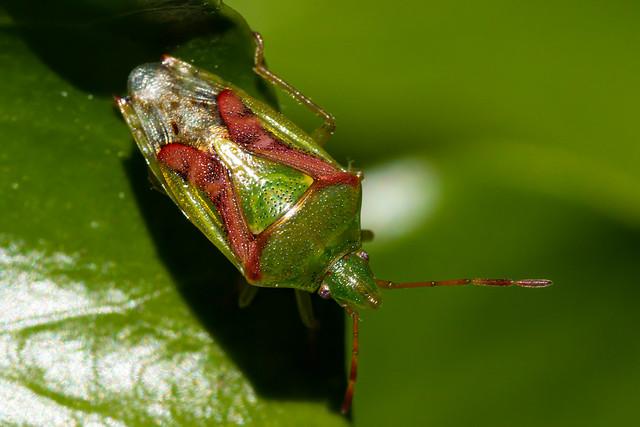 Birch Shield Bug