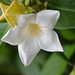 WHITE BELL FLOWER