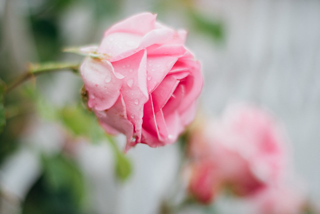 Close-up of a pink rose on a rainy day