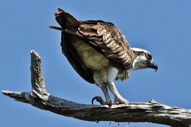 A Western Osprey From Behind (Pandion haliaetus)