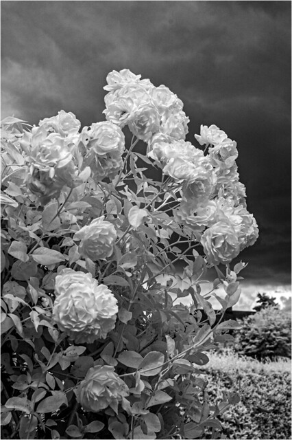Roses in the gathering storm