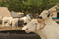 cattle market in Abuko, Western Division, Gambia