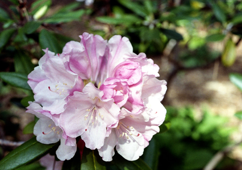 Pink White Blossoms