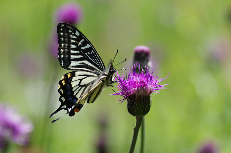 Papilio xuthus