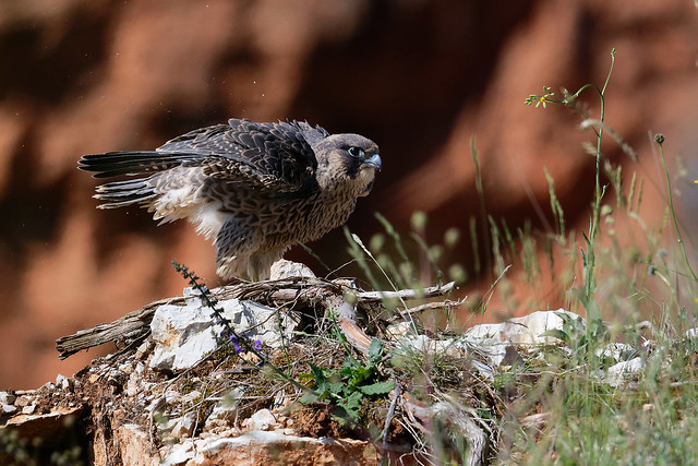 Faucon pèlerin - Falco peregrinus - Peregrine Falcon - Wanderfalke-peregrinus - Halcón Peregrino - Pellegrino