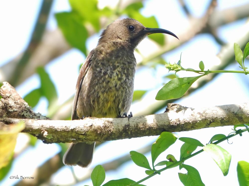 Scarlet-chested Sunbird Chalcomitra senegalensis lamperti