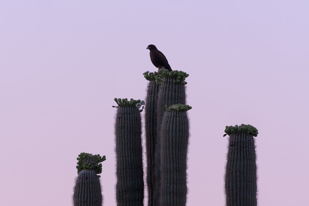 A near-silhouette of an adult Harris's hawk perched on an old saguaro that was starting to bloom shortly before sunrise on the Latigo Trail in McDowell Sonoran Preserve in Scottsdale, Arizona in May 2020