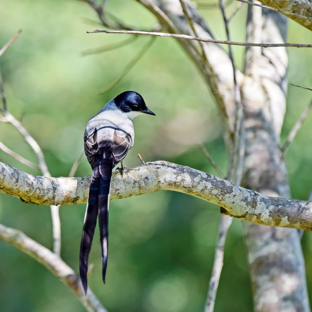 Tesourinha  (Tyrannus savana) - Fork-tailed Flycatcher