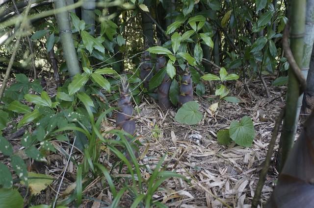 淡竹を採る