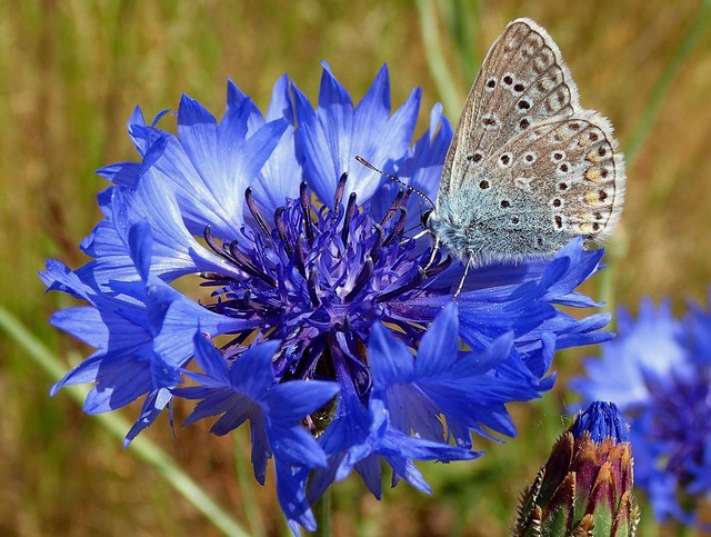 Blues. Polyommatus icarus, Common Blue Butterfly, on Cornflower, Centaurea cyanus, Gaasperplaspark, Amsterdam, The Netherlands