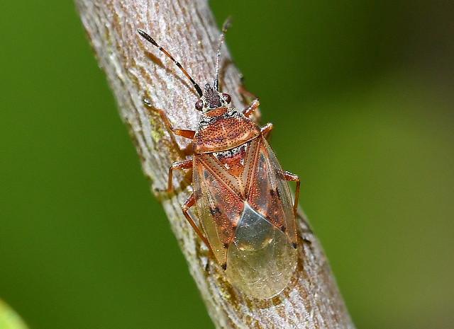 Fröskinnbagge / Birch Catkin Bug (Kleidocerys resedae)