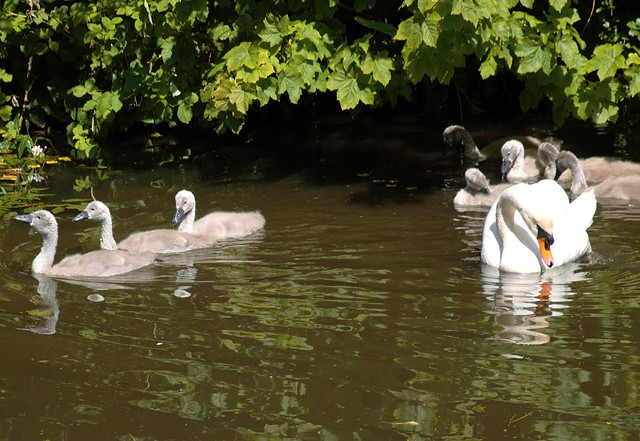 Growing up swan family