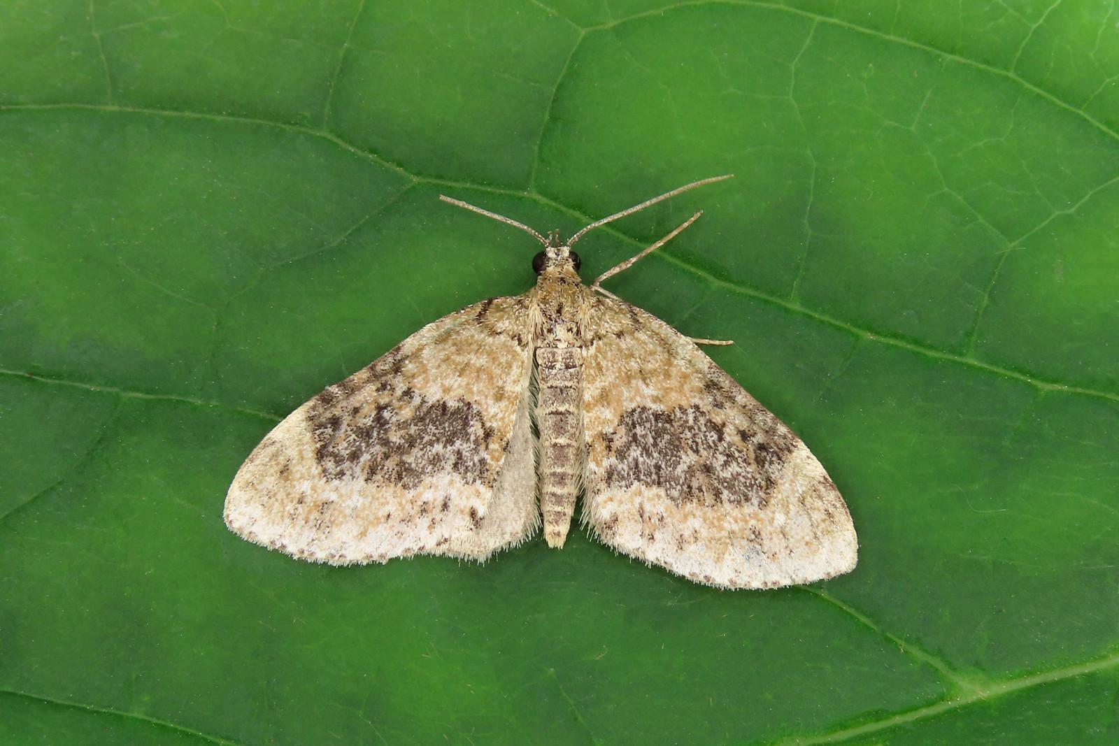 70.200 Yellow-barred Brindle - Acasis viretata