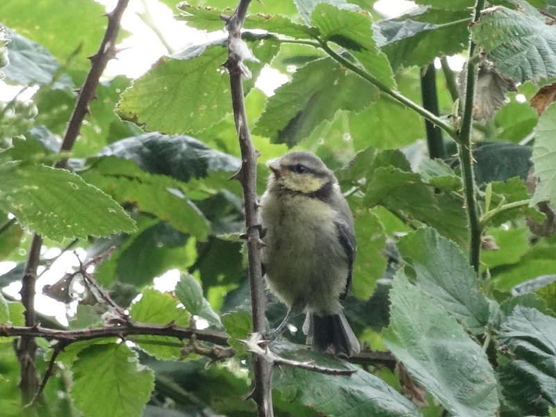 Fledgling Blue Tit