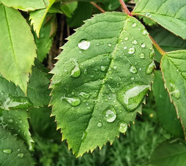 Raindrops on Serrated Leaf