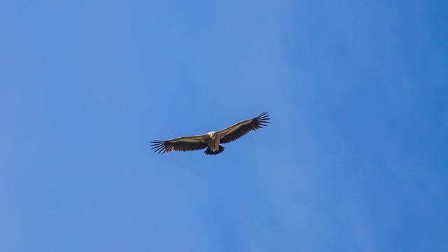 Griffon Vulture. Grifone. (Gyps Fulvus).