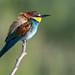Merops apiaster , Gruccione, European bee-eater.jpg
