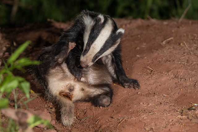 Tripod the Badger showing his bits!