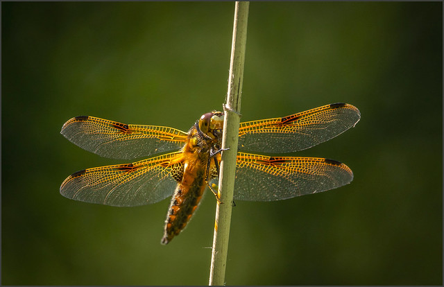Four Spotted Chaser, Dragonfly