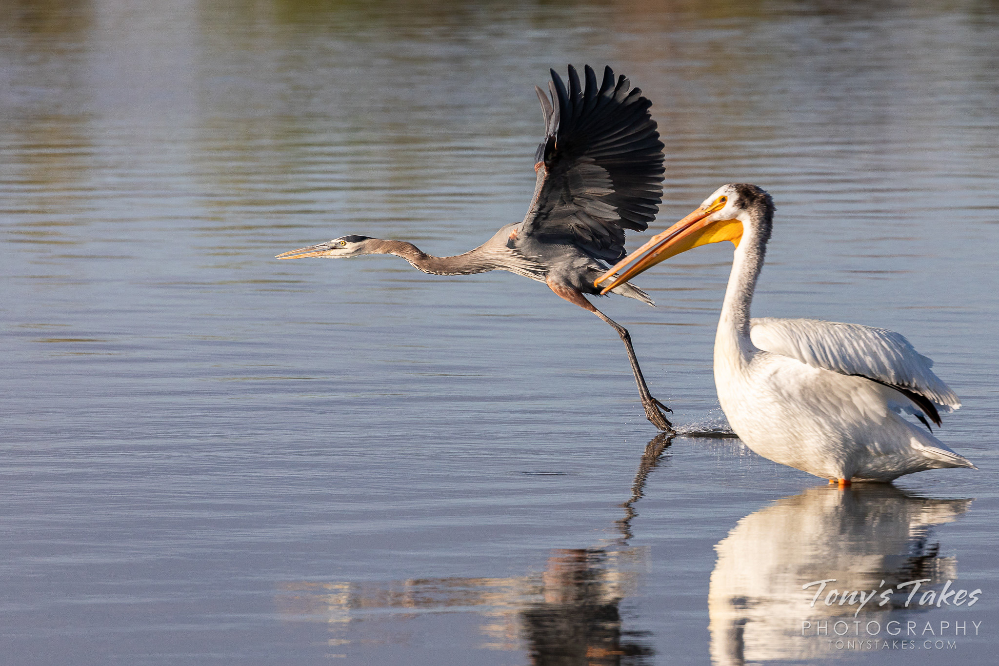 A great blue heron performs a fast flyby of an American white pelican. (© Tony's Takes)