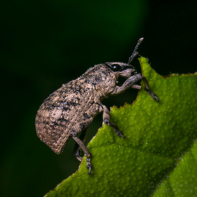 Brown Leaf Notcher Weevil