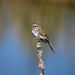 Flickr photo 'Song Sparrow' by: pchgorman.