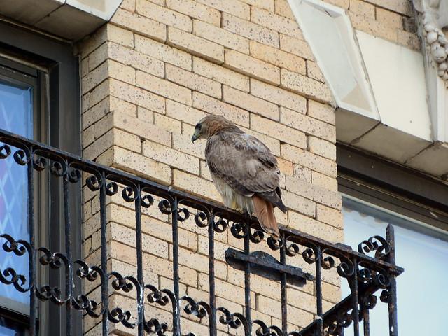 Annunciation Hawk - 6155