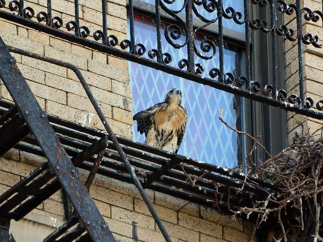 Annunciation Hawk Nestling 2 - 6154