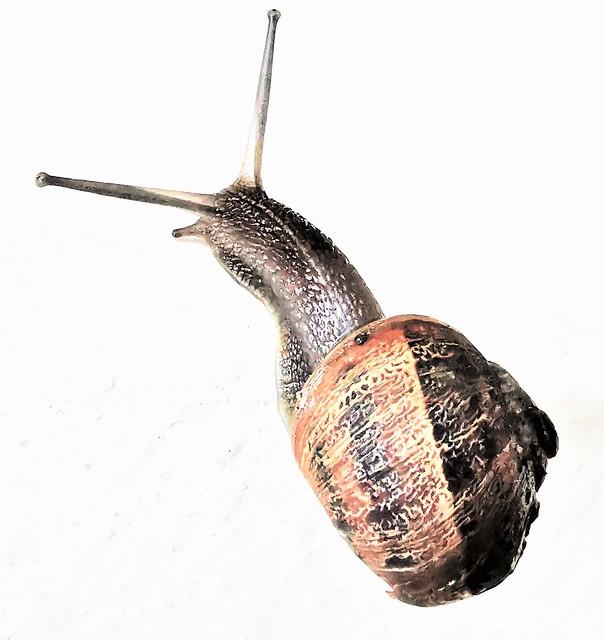 Common ( Garden ) Snail - North Shields