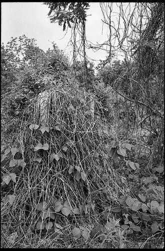 kudzu kudzucovered landscape asheville northcarolina minoltaxgm superalbinon28mmf28 kodaktmax400 moerschecofilmdeveloper 35mm 35mmfilm film analog primelens monochrome monochromatic blackandwhite
